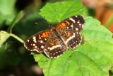 Texan Crescent, Lafayette Parish, Acadiana Nature Park, 11/16/13