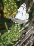 Checkered White. Cameron. 5.24.14.c.jpeg
