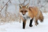Renard marchant dans la neige en hiver #9966.jpg