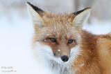 Renard sous la neige - un portrait #9976.jpg