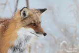 Renard sous la neige - un portrait #9987.jpg