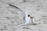 Petite sterne - Least Tern - 21 photos