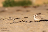 Pluviers siffleurs - Piping Plovers #2380.jpg