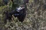Pygargue sur son nid #0048.jpg