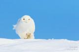 Harfang des neiges mâle tout blanc #8342.jpg