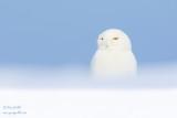 Harfang des neiges mâle #0324.jpg