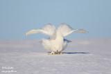 Harfang des neiges mâle #1588.jpg