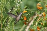 Colibri femelle & impatiente du Cap #6351.jpg
