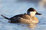 Érismature rousse mâle en plumage internuptial #8354.jpg
