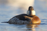 Érismature rousse - Ruddy Duck - 19 photos