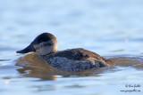 Érismature rousse - plumage internuptial #5605.jpg