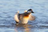 Érismature rousse - plumage internuptial #8436.jpg