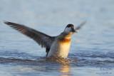 Érismature rousse - plumage internuptial #8483.jpg