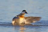 Érismature rousse - plumage internuptial #8492.jpg