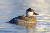 Érismature rousse - plumage internuptial #8524.jpg