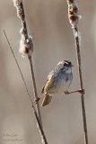 Bruant des marais - Swamp Sparrow - 6 photos
