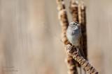 Bruant des marais - Swamp Sparrow - 6 photos