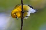 Paruline orangée - Prothonotary Warbler - 28 photos
