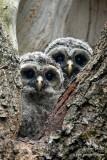 Bébé Chouette rayée - Barred Owlets - 10 photos
