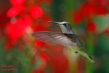 Colibri à gorge rubis - Ruby-throated Hummingbird - 18 photos