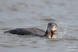 Plongeon huard - Common Loon - 53 photos