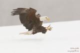 Pygargue à tête blanche - Bald Eagle - 74 photos