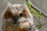 Grand-duc d'Amérique - Great Horned Owl  - 4 photos