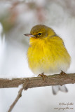 Paruline des pins - Pine Warbler - 3 photos