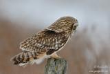 Hibou des marais - Short-eared Owl - 7 photos