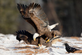 Pygargues - bagarre - Bald Eagles Fight #5108.jpg