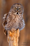 Chouette lapone - Great Gray Owl - 20 photos