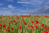 Anstruther Poppies