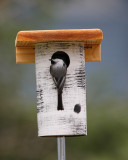 Chickadee at nest box