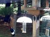 Red-headed woodpecker / Goldfinch