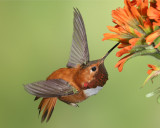 BC Hummingbirds