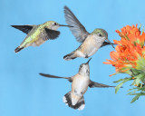 Rufous and calliope hummingbirds