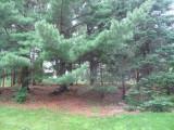Pine tree area