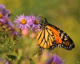Late season monarch