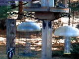 Hairy woodpecker / Mourning dove/ female Purple finch