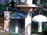 Downy woodpecker / female purple finches