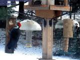 Pileated woodpecker / Downy woodpecker
