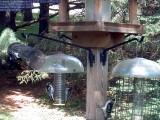 4 downy woodpeckers