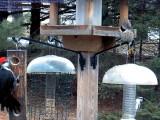 Pileated woodpecker, Northern flicker, Downy woodpecker