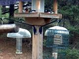 Rose breasted grosbeaks
