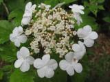 Highbush cranberry flower up cloase