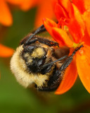 Bumblebee on butterfly weed