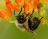 Bumblee on butterfly weed