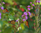 Monarchs on blazingstar