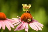 Bumblebees on coneflower