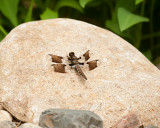 White tailed skimmer dragonfly